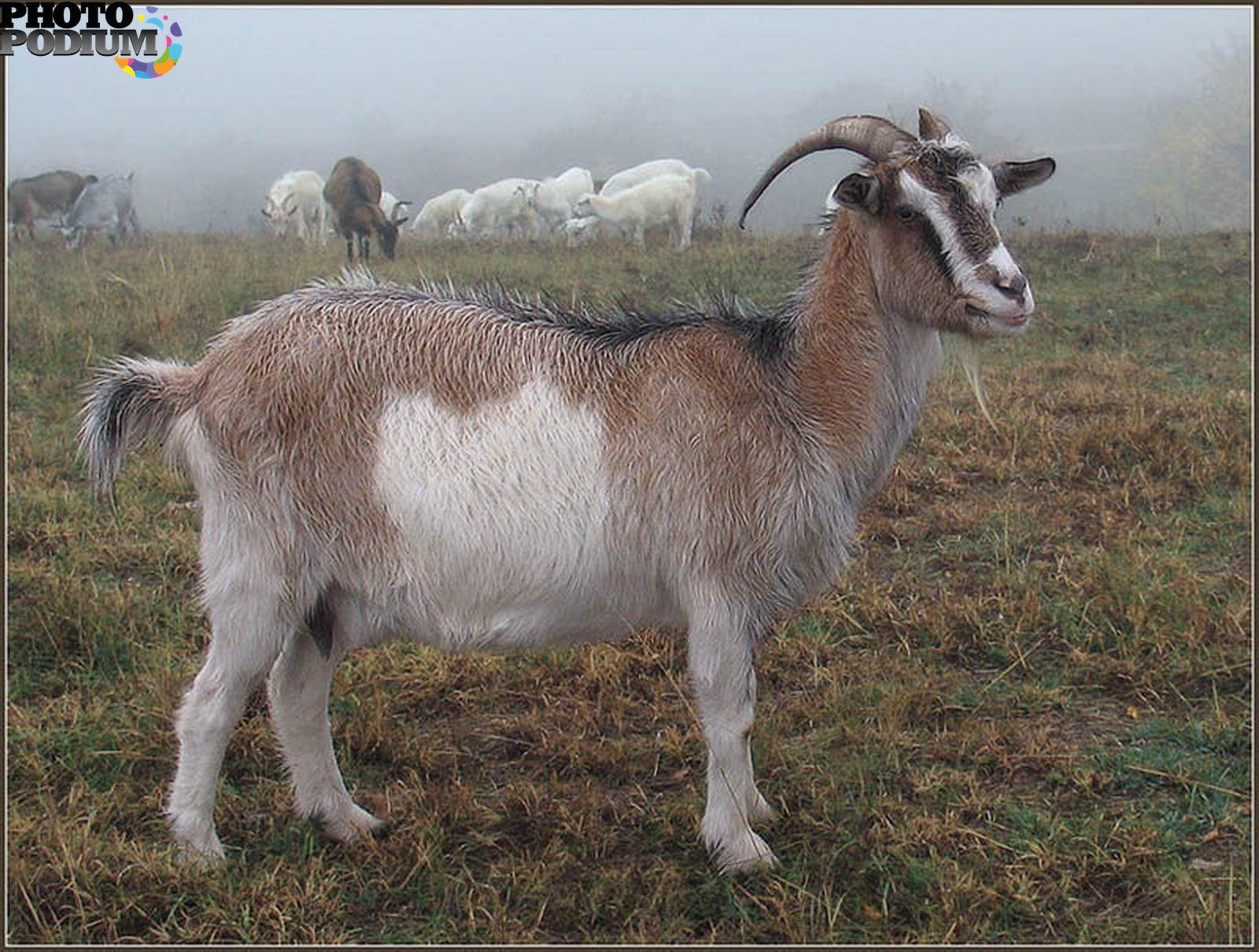 картинки козы в полный рост жизни хотел попробовать