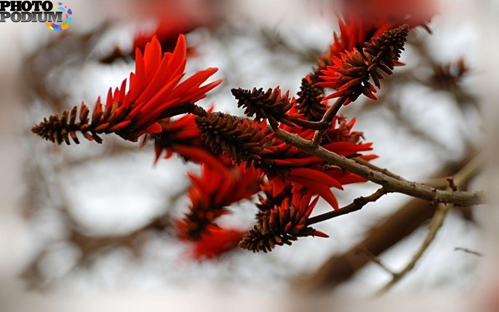 Каффрский листонос фото 3