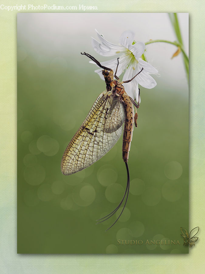 Butterfly, Insect, Invertebrate, Mosquito, Gift, Anisoptera, Dragonfly