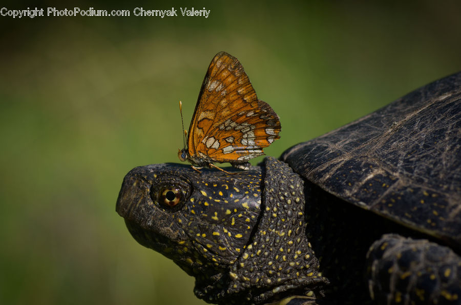 Box Turtle, Reptile, Tortoise, Turtle, Butterfly, Insect, Invertebrate