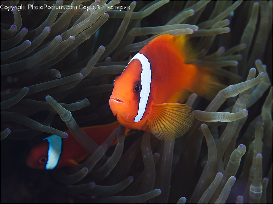 Fish, Sea Life, Invertebrate, Sea Anemone, Coral Reef, Outdoors, Reef