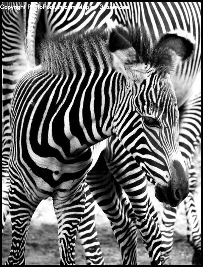 Animal, Mammal, Zebra, People, Person, Human