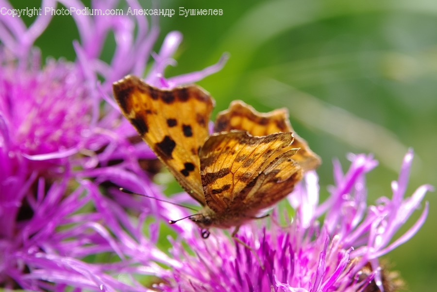 Animal, Butterfly, Insect, Invertebrate, Aster