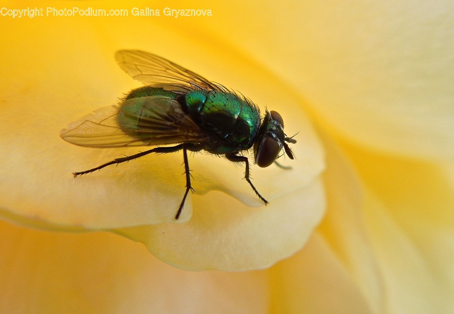 Animal, Asilidae, Fly, Insect, Invertebrate