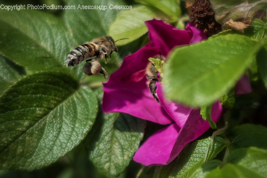 Animal, Bee, Insect, Invertebrate, Blossom
