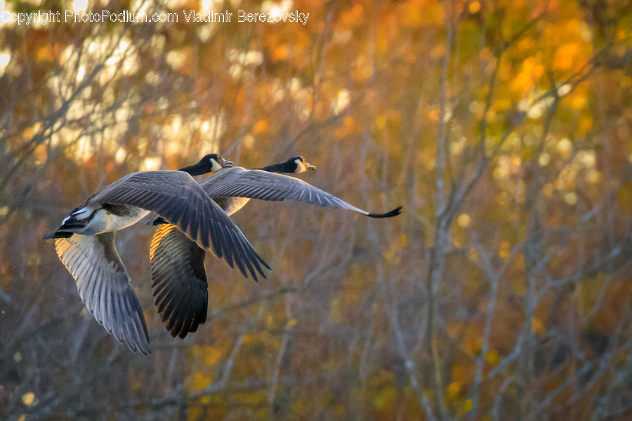Bird, Animal, Flying, Anhinga, Accipiter