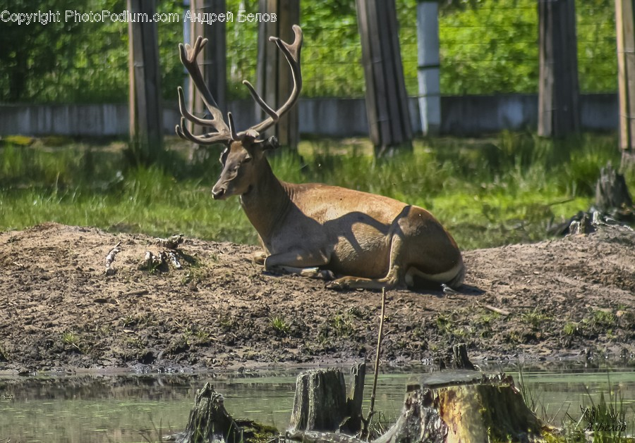 Animal, Wildlife, Antelope, Mammal, Deer