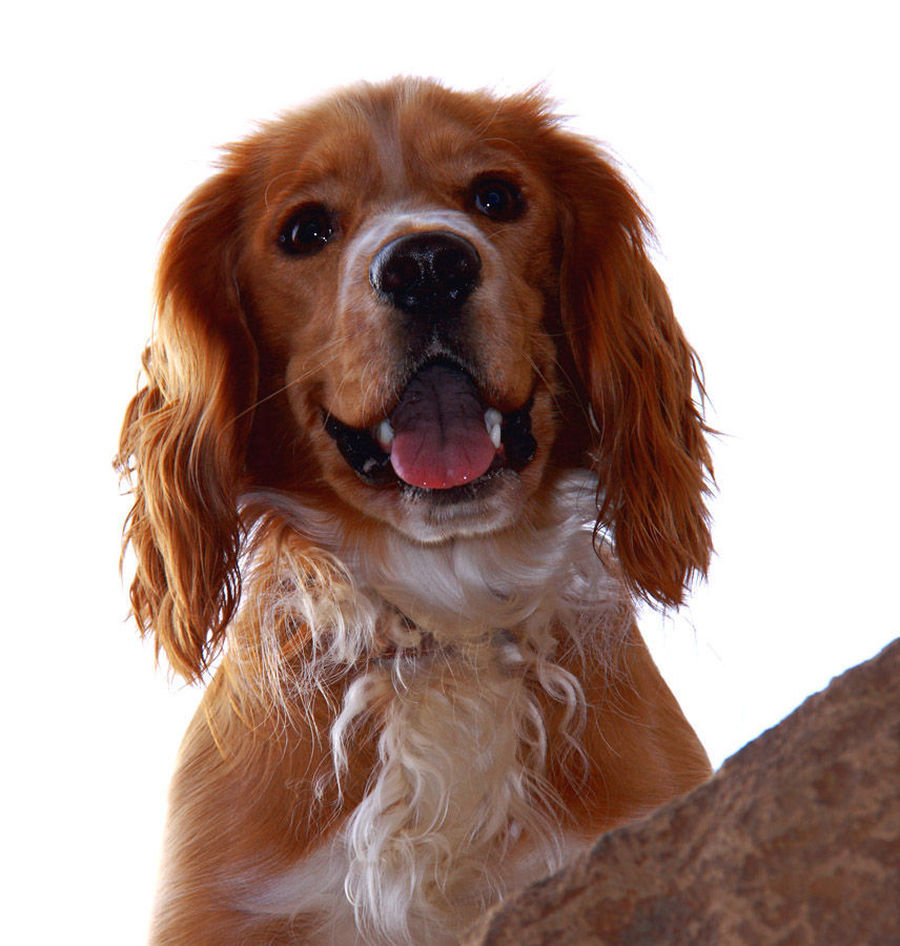 Animal, Canine, Cocker Spaniel, Dog, Mammal, Pet, Spaniel