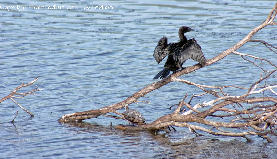 Waterfowl, Bird, Animal, Anhinga, Cormorant